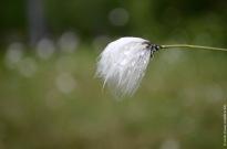 Cute fluffy Eriophorum vaginatum