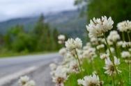 Trifolium repens invading the roadside
