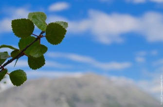 Betula pubescens in the Norwegian mountains