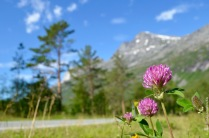 Trifolium pratense invading a valley roadside
