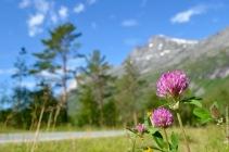 Trifolium pratense invading a valley roadside