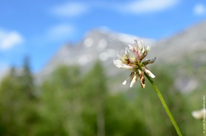 Trifolium repens invading a valley roadside