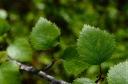 Betula pubescens czerepanovii