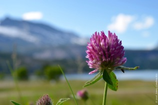 Western European species like the red clover (Trifolium pratense) here are often listed as non-native species in mountain regions.