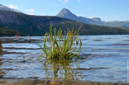 Plantago maritima in a Norwegian fjord