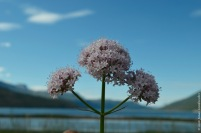 Valeriana sambucifolia at the fjord