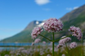 Valeriana sambucifolia at the fjord