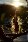 Salix seeds against midnight sun in Abisko