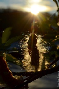 Salix seeds against midnight sun in Abisko