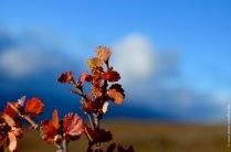 Betula nana, the dwarf birch, mini autumn forest