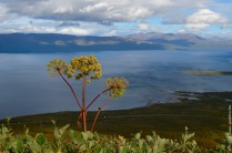 Angelica archangelica, often the biggest plant of the Arctic