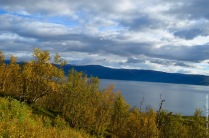 Yellow leaves of mountain birch, with lake Torneträsk in the background.