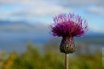 Cirsium helenioides, the melancholy thistle