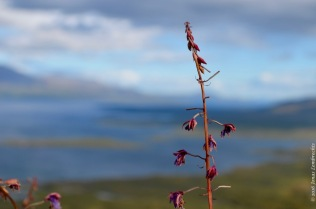 Fireweed, Epilobium angustifolium