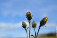 Hieracium alpinum, alpine hawkweed