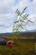 Agrostis capillaris, bentgrass