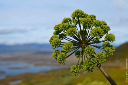 Massive flowerhead of Angelica archangelica