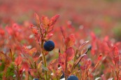 Blueberry (Vaccinium myrtillus) in autumn