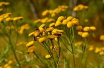 Tanacetum vulgare (Tansy), non-native for the high north