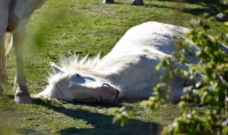 Camargue horses