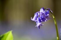 Bluebells (Hyacinthoides non-scripta)