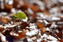 Young beech seedling (Fagus sylvatica)