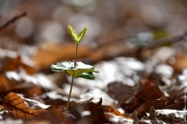 A young beech seedling (Fagus sylvatica), looking nothing like a beech, yet everything like a tiny dancer