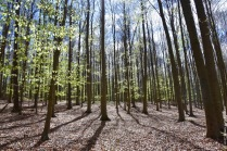 A beech forest without understory, most likely too dry and too acid for any survivors