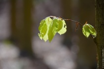 Young beech leaves, as soon as they are fully grown, spring in the understory is over