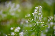 Another one from the wet plots: large bitter-cress (Cardamine amara)