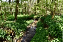 A little stream in the Hallerbos, surrounded by endless fields of wild garlic (Allium ursinum)