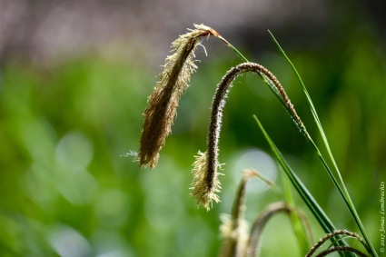 Weirdly beautiful, the inflorescence of pendulous sedge (Carex pendula), typical for the wettest spots in the forest