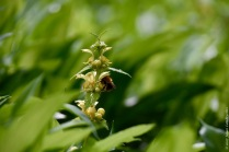 A bumblebee visiting yellow archangel (Lamium galeobdolon)
