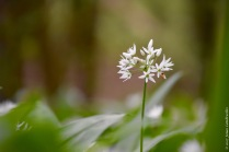 Wild garlic (Allium ursinum) in the Hallerbos flowers a bit later than the bluebells, yet this one was already in full bloom