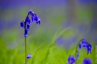 Bluebells (Hyacinthoides non-scripta) in a rare patch of mountain melick (Melica nutans), a grass in the most amazing green