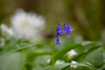 Single bluebell flower surviving on a wetter spot, as indicated by the field of wild garlic (Allium ursinum)