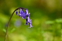 The common bluebell (Hyacinthoides non-scripta), the signature flower of the Hallerbos