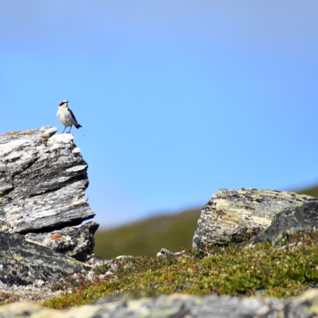 Oenanthe oenanthe, alpine tundra Abisko, Sweden