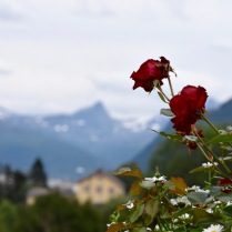 Mountain rose in garden in Narvik, Norway