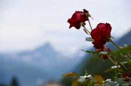 Mountain rose in garden in Narvik, Norway