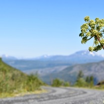 Angelica archangelica along mountain road in the northern Scandes, Norway