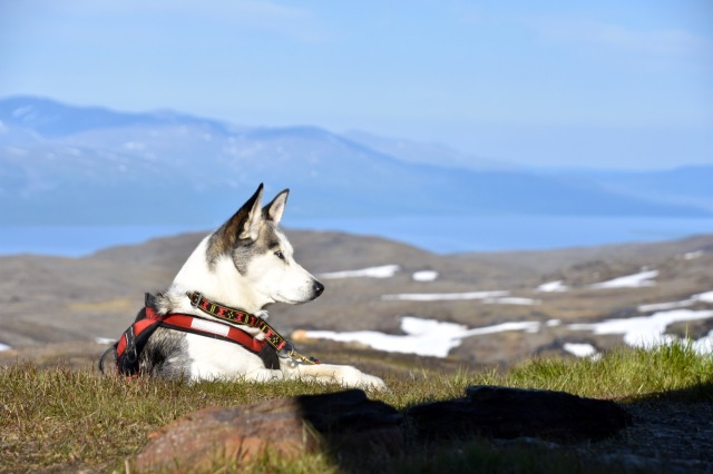 Husky sledgehounds Lapland