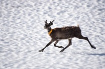 Reindeer on the snow, Abisko, Lapland