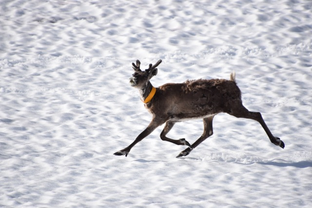Reindeer on the snow, Abisko, Lapland