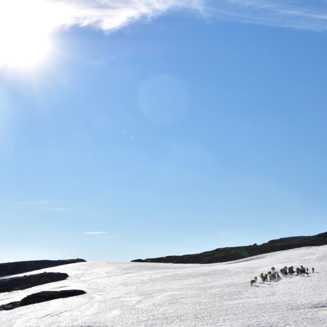 Reindeer herd on snow patch, Abisko, Lapland