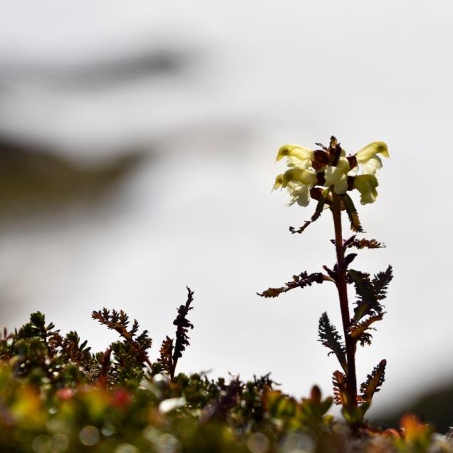 Pedicularis lapponica