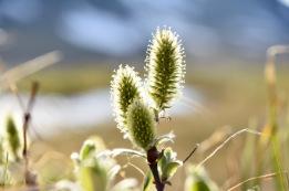 Salix lapponum in the evening sun