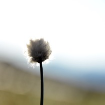 Hair's tail cotton grass