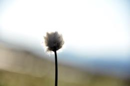 Hair's tail cotton grass