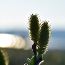 Salix lapponum in the evening sun